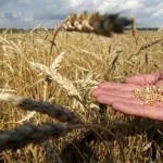 Дворкович: Правительство введет экспортные пошлины на зерно