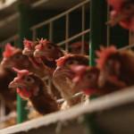Южная Корея запретила импорт американской курятины