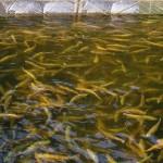 В Самарской области планируют выращивать красную рыбу
