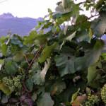 В Севастополе в 2015 году высадят более 150 га виноградников