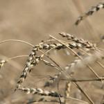 Россия сократила экспорт пшеницы в 2,5 раза