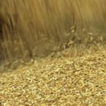 Экспорт пшеницы упал в два раза